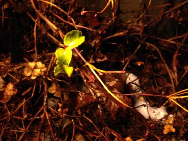 U nas zewnętrzny świat wygląda jak jesień, a rośliny zachowują się jak wiosna - wypuszczają nowe liście! Jest koniec grudnia!?